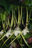 Sammlung des Affe-Orchideen-Blühens Stockfotos