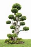 Sammlung des Bonsaibaums Stockfoto