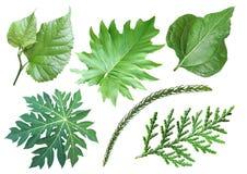 Sammlung des grünen Blattes Stockbild