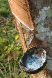 Sammlung durch das Klopfen des Latex von den Bäumen Stockfotografie