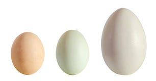 Sammlung Eier, großes weißes Gänseei, hellgrünes Entenei, Stockbild
