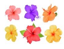 Sammlung farbige Hibiscusblumen mit den Blättern lokalisiert auf w stockbilder