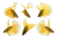 Sammlung gelbe betta Fische lokalisiert auf weißem Hintergrund Stockbild