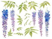 Sammlung gemalte Aquarellflorenelemente, blühende Glyzinie mit Blättern Stockbild