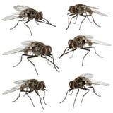 Sammlung gemeine Stubenfliegen, lokalisiert Stockfotos