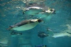 Sammlung lokalisierte Kaiser-Pinguine Lizenzfreies Stockbild