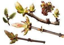Sammlung Niederlassungen mit den Frühlingsknospen Stockbilder
