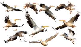 Sammlung Pelikane im Flug Stockbild