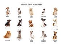 Sammlung populäre kleine Zucht-Hunde Stockbild