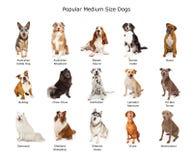 Sammlung populäre mittlere Größen-Hunde Stockbild