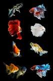Sammlung verschiedene Fische auf schwarzem Hintergrund, kämpfender Fisch, goldene Fische Stockfoto