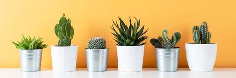 Sammlung verschiedener eingemachter Kaktus und saftige Anlagen auf weißem Regal gegen warmes Gelb färbte Wand Zimmerpflanzefahne stockbild