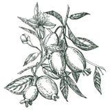 Sammlung von feijoa Frucht, von Blume, von Blättern und von feijoa Scheibe Vektorhand gezeichnete Abbildung lizenzfreie abbildung