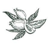 Sammlung von feijoa Frucht, von Blume, von Blättern und von feijoa Scheibe Vektorhand gezeichnete Abbildung stock abbildung