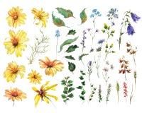 Sammlungs-Kamille yellou Blume, Handzeichnungs-Aquarell illus lizenzfreies stockbild