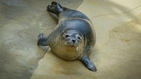 Sammy Seal Royaltyfria Foton