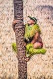 Samoański mężczyzna demonstruje dlaczego wspinać się kokosowego drzewa Fotografia Royalty Free