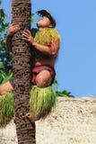 Samoański mężczyzna demonstruje dlaczego wspinać się kokosowego drzewa Zdjęcia Royalty Free