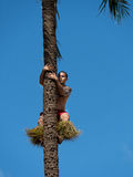 Samoa native climbing palm tree Royalty Free Stock Photos