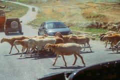 Samochody zatrzymują i czekać na stada barani skrzyżowanie drogi Ruch drogowy w Naran, Pakistan fotografia royalty free