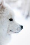 samoed狗的画象在冬天 库存图片