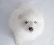 一Samoed狗白色 库存照片