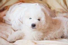 Ένα λευκό σκυλιών Samoed Στοκ εικόνες με δικαίωμα ελεύθερης χρήσης