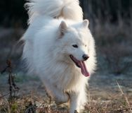 samoed hund s Royaltyfria Bilder