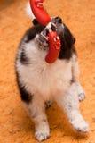 Samoed puppy Royalty Free Stock Images