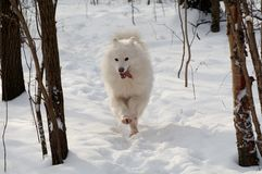Samoed's dog. In winter forest Royalty Free Stock Photography