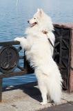 Samoed's dog. On Onego lake Stock Image