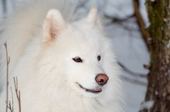 Samoed's dog. In winter forest royalty free stock photo