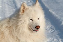 Samoed's dog. In winter forest Stock Photography