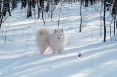 Samoed's dog. In winter forest Stock Image