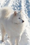 Samoed's dog. In winter forest royalty free stock photos