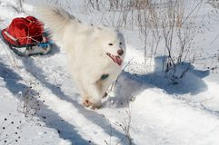 Samoed's dog transport pulk. Samoed's dog in winter forest transport pulk royalty free stock photos