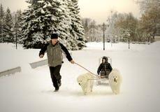 Samoed-Schlittenhund Lizenzfreies Stockfoto