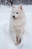 Samoeds Hund auf Schnee Stockfotos