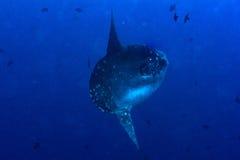 Samogłowa mola mola ryba portreta podwodny zakończenie up Obraz Stock
