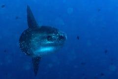 Samogłowa mola mola ryba portreta podwodny zakończenie up Fotografia Royalty Free