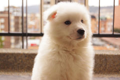 Samoiedo bianco coccolo del cucciolo Immagini Stock Libere da Diritti