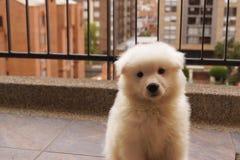 Samoiedo bianco coccolo del cucciolo Immagine Stock