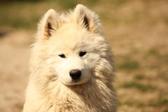 Samojed Dog Portrait. A nice looking young Samojed Dog with nice expression in head is watching other dog outdoors Stock Photography