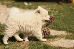 Samojed Puppy playing Stock Photo