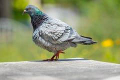 Samokierującego gołębia ciała i ptaka piórko Zdjęcie Stock