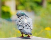 Samokierującego gołębia preening piórko na domowym loft Obraz Royalty Free