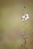 Samolus ebracteatus - Bractless樱草科植物 免版税库存图片