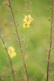 Samolus ebracteatus - Bractless樱草科植物 免版税库存照片