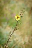 Samolus ebracteatus - Bractless樱草科植物 库存照片