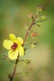 Samolusebracteatus - Bractless brookweed Royalty-vrije Stock Foto